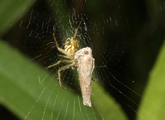 Lined Orbweaver - Mangora gibberosa - female