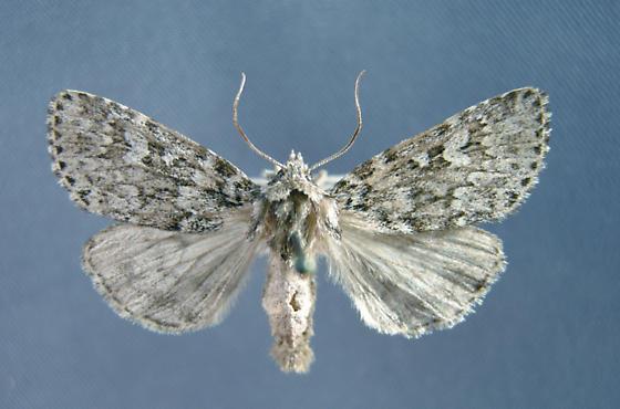 Noctuinae 10962   - Xestia perquiritata
