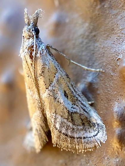 Decaturia pectinalis