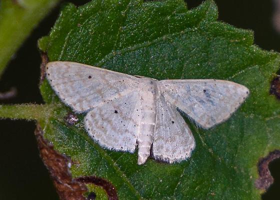 moth - Scopula benitaria