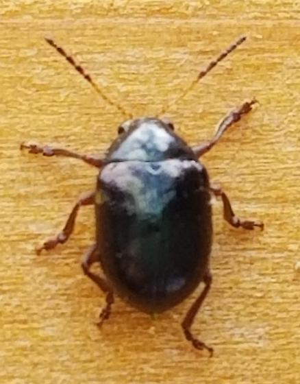 Small flying black bug on cedar fence