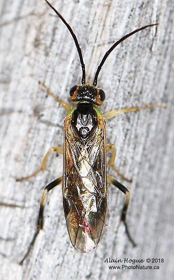 Wasp - Nematus