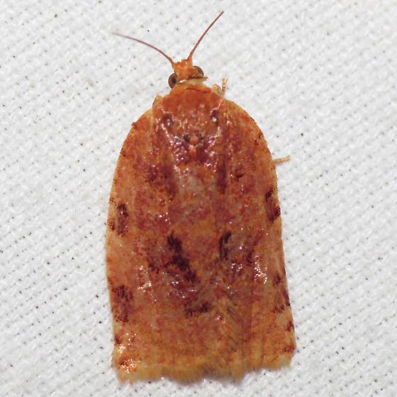 3661 Ugly-nest Caterpillar Moth - Archips cerasivorana