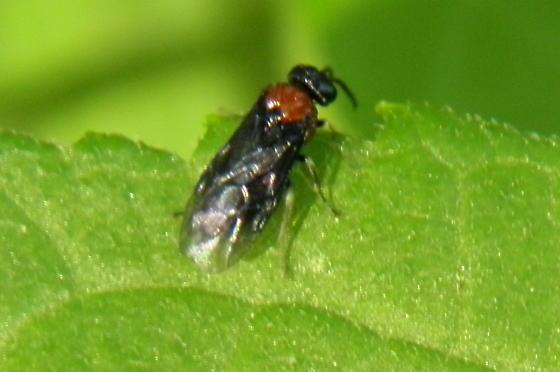 Common Sawfly - Eutomostethus ephippium