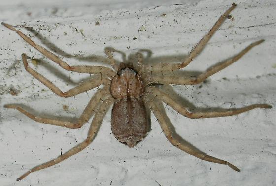 Selenops - Selenops insularis - female