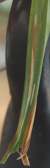 Johnston Mill Nature Preserve leaf miner on Carex D886 2017 2 - Cosmopterix