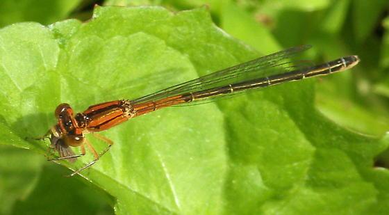 Orange damselfly, Citrine Forktail, with lunch - Ischnura hastata - female