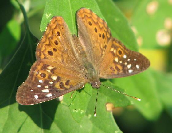 Hackberry Emperor - Asterocampa celtis - male