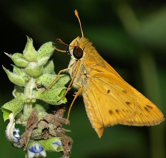 Skipper - Hylephila phyleus? - Hylephila phyleus