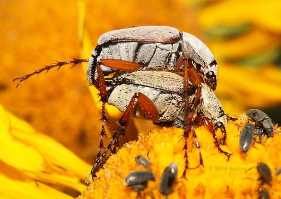Mating pair - Macrodactylus uniformis - male - female