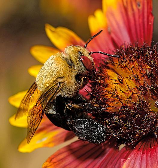 Large bee - Centris