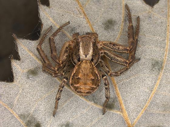 Myrmecovorous Xysticus - Xysticus cristatus - female