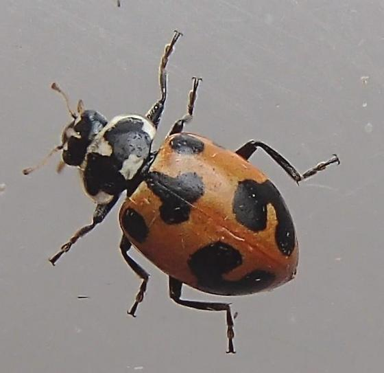Lady Beetle - Hippodamia parenthesis