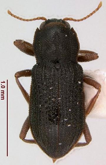 Hexacylloepus ferrugineus