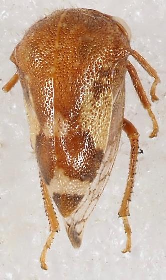 Membracidae (I think Cyrtolobus)