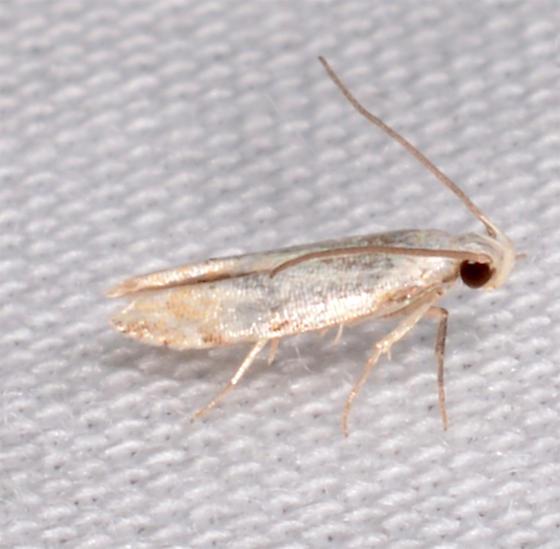 micro id help, please - Coleotechnites variiella