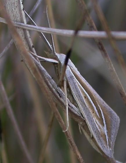Moth 16 - Doryodes bistrialis