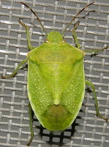 Red-shouldered Stink Bug - Thyanta custator