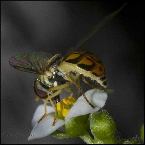 Syrphidae, Flower Fly,Toxomerus marginatus ? - Toxomerus marginatus - female