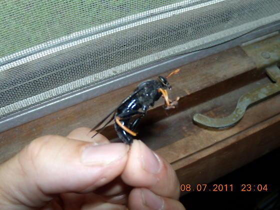 Big black wasp?