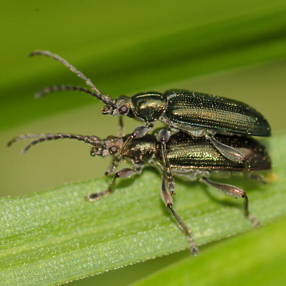 Donaciines on Carex lurida - Plateumaris - male - female
