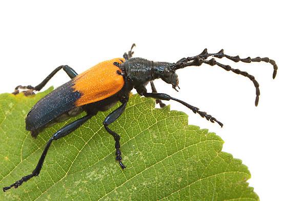 Orange & black beetle - Desmocerus palliatus
