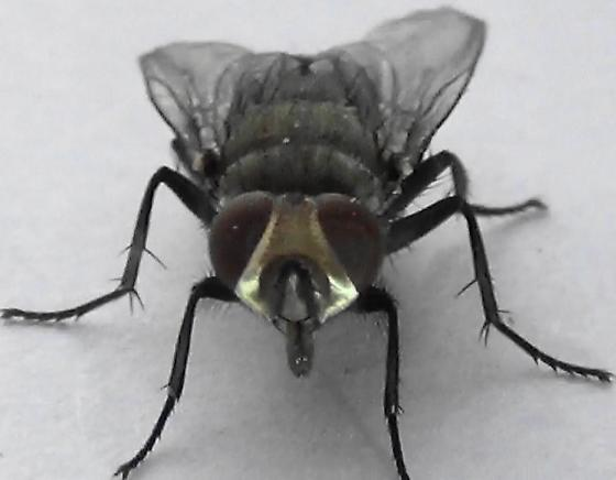 Sexing Flies in the Genus Lucilia (face) - Lucilia - male
