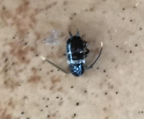 Black body with 2 white stripes - Periplaneta fuliginosa