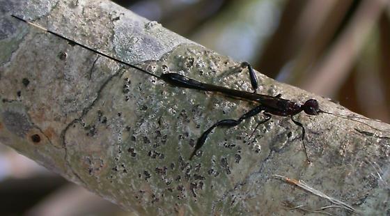 Megischus - Megischus bicolor - female