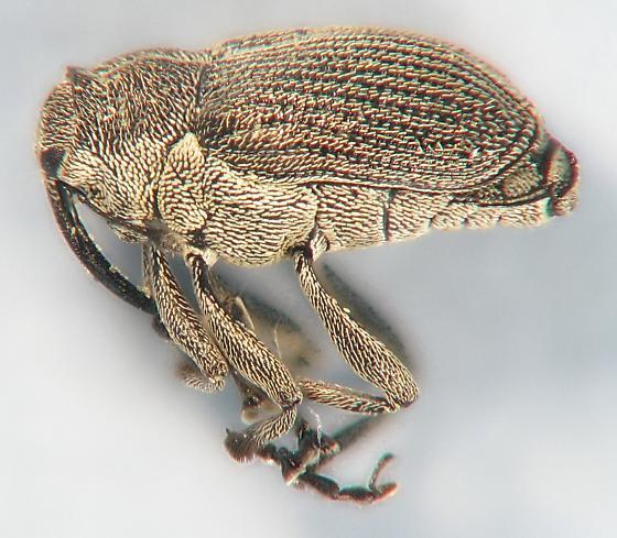 weevil on wild mustard - Ceutorhynchus omissus