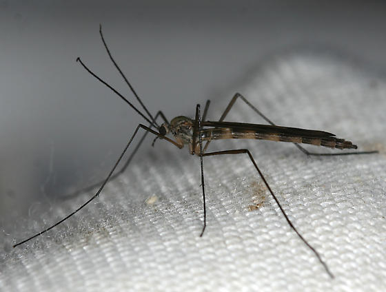 little fly - Cramptonomyia spenceri