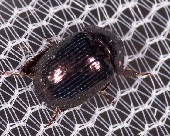 Tiny Black Beetle for ID - Germarostes