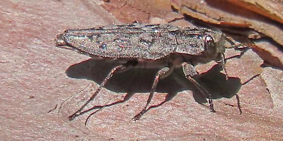 beetle800x400 - Chrysobothris