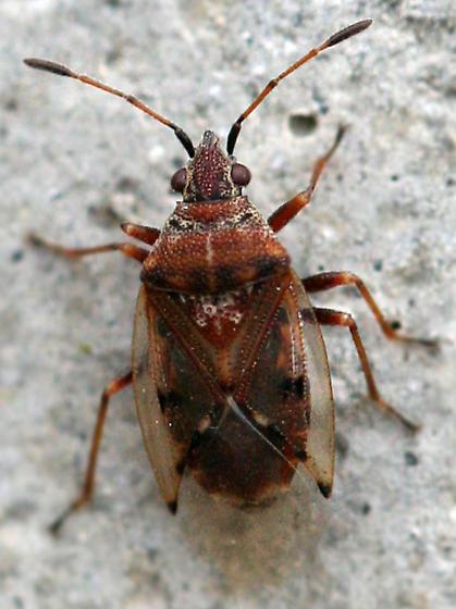 small bug - Kleidocerys resedae