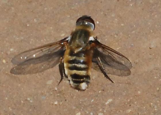 Orange County Bee Fly Archives #275 - Villa - female