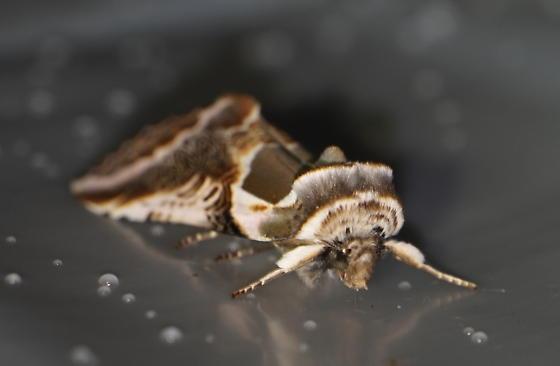 Moth with wavy line patterns - Habrosyne scripta