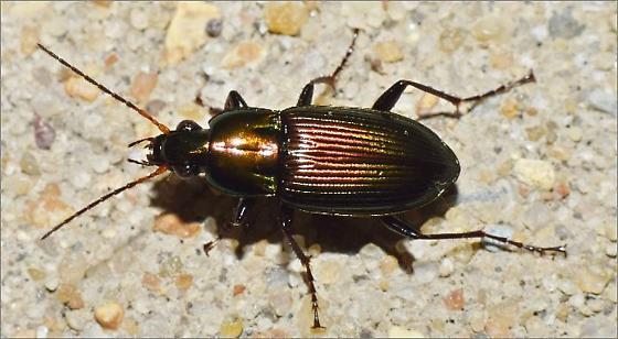 Metallic Ground Beetle - Poecilus chalcites