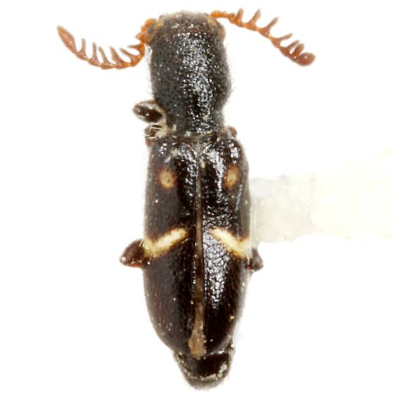 Neocallotillus elegans (Erichson)  - Neocallotillus elegans