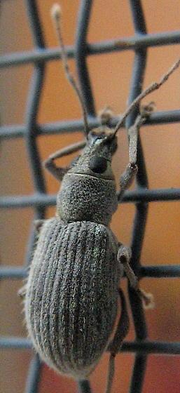 screen weevil - Cyrtepistomus castaneus