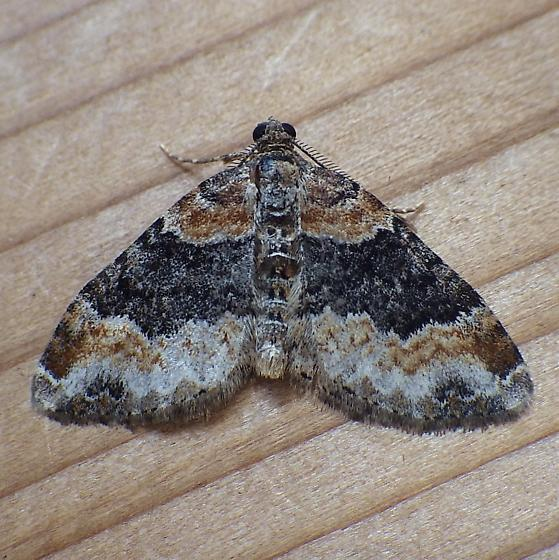 Geometridae: Xanthorhoe ferrugata - Xanthorhoe ferrugata - male