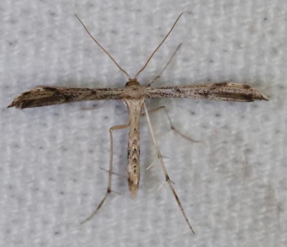 Adaina ambrosiae - Ragweed Plume Moth - Adaina ambrosiae