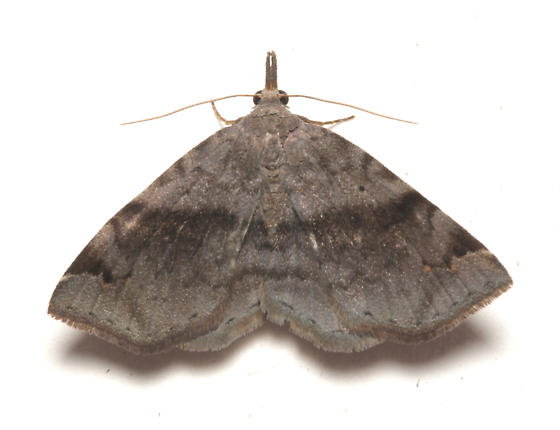 Erebidae, Six-spotted Gray - Spargaloma sexpunctata