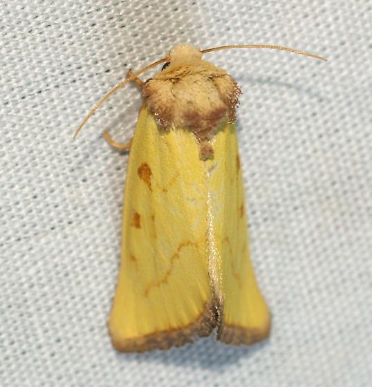 Moth - Nocloa aliaga