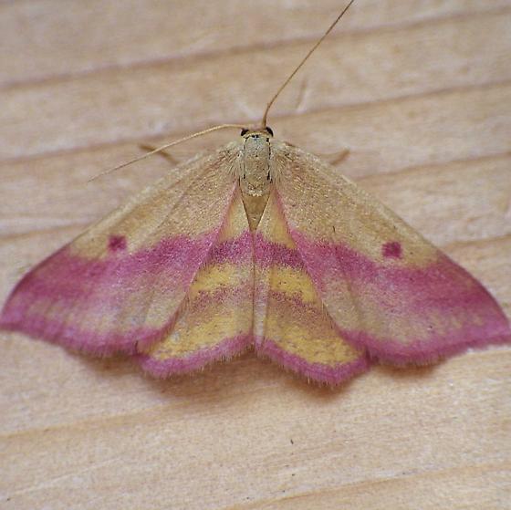 Geometridae: Haematopis grataria - Haematopis grataria - female