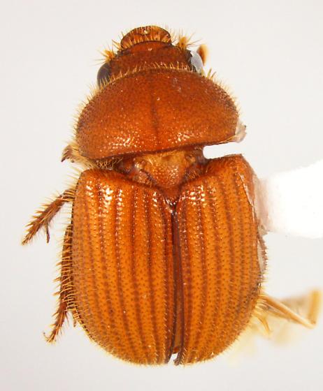 Parochodaeus - Parochodaeus biarmatus