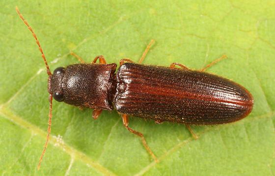 Click Beetle - Elathous discalceatus