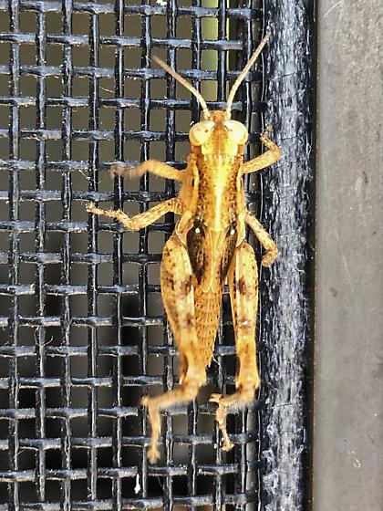 Grasshopper Instar? - Melanoplus