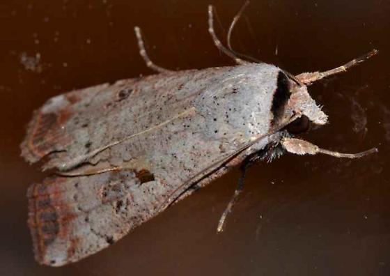 Moth - Anicla infecta