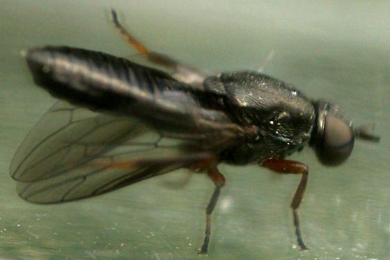 Window Fly - Scenopinus