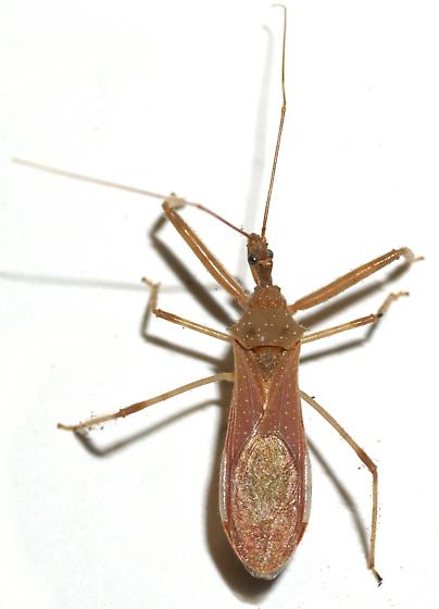 Reduviid - Heza similis - female